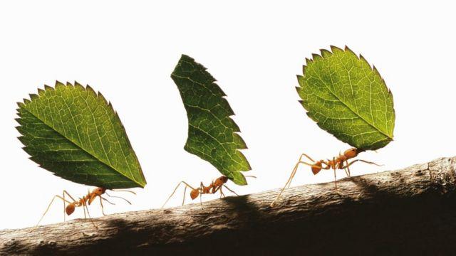 Hormigas trabajan juntas